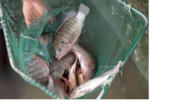 L'aquaculture sénégalaise face aux difficultés d'accès au financement et à  l'insuffisance des infrastructures
