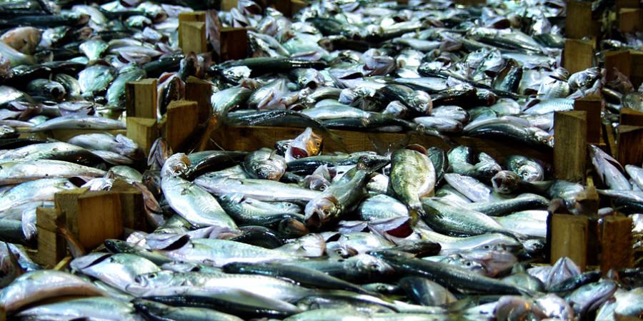 Réponse à la surexploitation des ressources halieutiques Vers la reconversion des pêcheurs  grâce à l'appui de PRAO-Sénégal