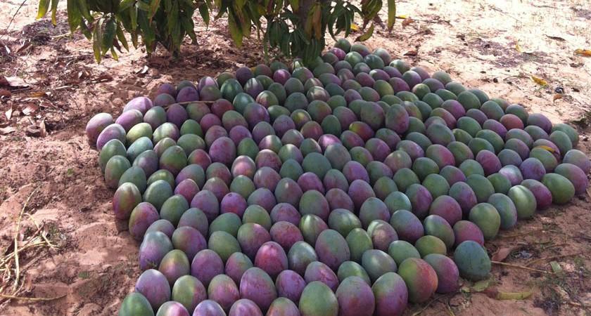 Filière mangue : Un projet  d'un coût de 1, 5 milliards de FCA  lancé pour améliorer sa compétitivité