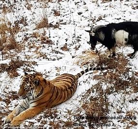 Tigre et Bouc