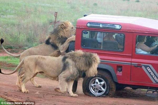Impressionnant ! Terrifiés des touristes observent un lion mangeant  le pneu de leur véhicule lors d'un safari