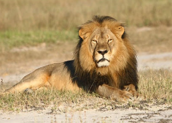 Menace sur le roi de la forêt :  des braconniers découpent tête et pattes des lions pour le marché noir
