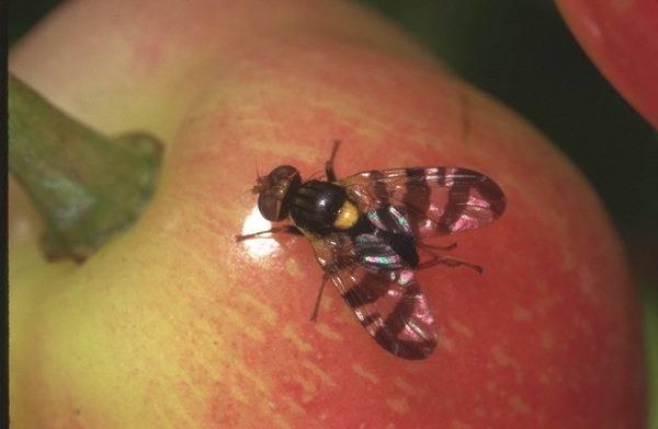 CEDEAO:Un projet  de plus de 15 milliards lancé pour lutter contre la mouche des fruits