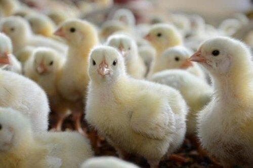 Secteur avicole  au Sénégal: 30 millions de poussins produits annuellement