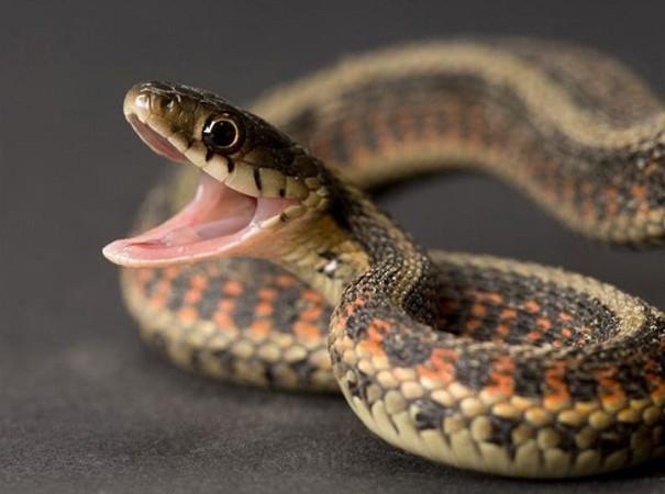Troublante information : Des serpents en vadrouille à l'hôpital Aristide le Dantec