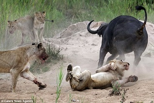 Buffle contre lion en Afrique  3