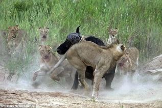 Buffle contre lion en Afrique du Sud. 4 jpg