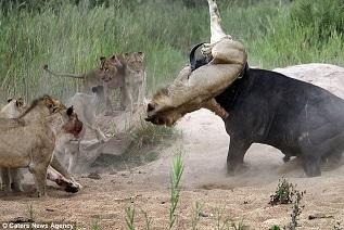 Buffle contre lion en Afrique du Sud. 5 jpg