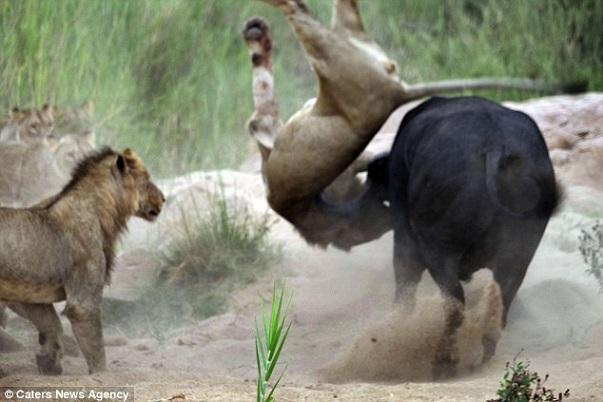 Images insolites Un buffle téméraire inflige une correction à un lion pour secourir un des siens