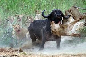 Buffle contre lion en Afrique du Sud