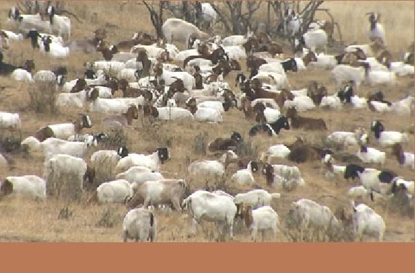 Insolite/Californie Des centaines de chèvres recrutées pour prévenir des incendies