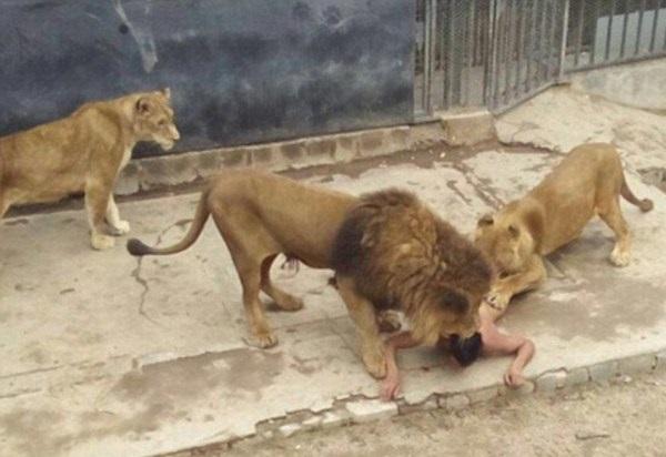 Chili    Pour se suicider, un illuminé  s'offre aux lions d'un zoo de Santiago