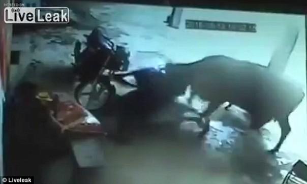 Inde  Une vache tente en vain d'empêcher un crime visant une jeune fille