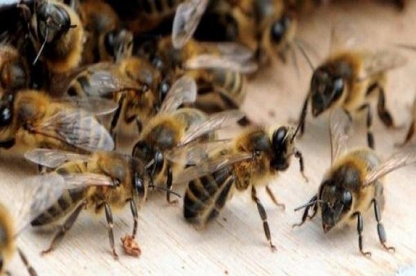 Environnement : l'Europe vote l'interdiction de trois pesticides pour protéger les abeilles