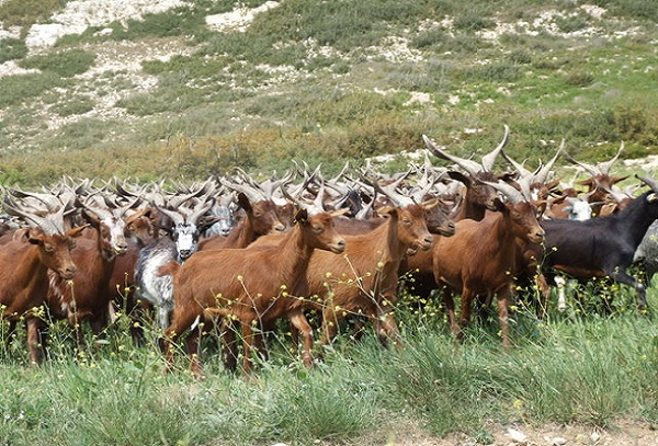 Une bande de voleurs de chèvres démantelée dans la banlieue dakaroise