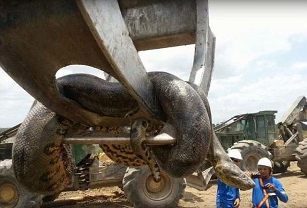 Découverte au nord du Brésil du serpent probablement le plus long du monde