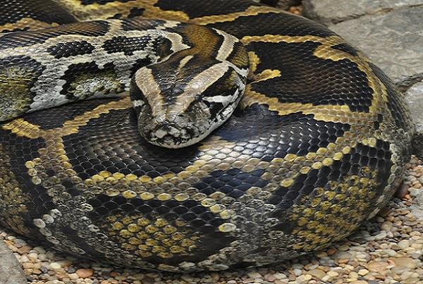 Grosse frayeur à Diourbel Des pythons terrorisent les populations
