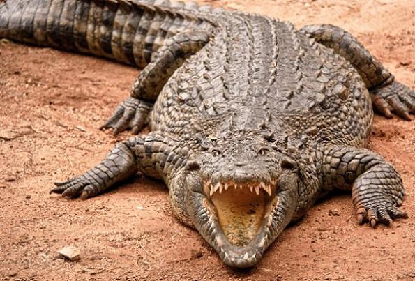 Thaïlande Une touriste française se fait mordre la jambe en voulant prendre photo avec un crocodile