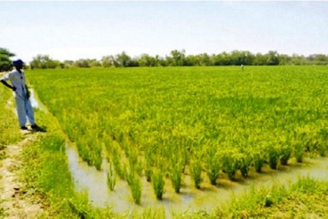 Agriculture : une étude alerte sur des risques de chute des rendements du riz irrigué