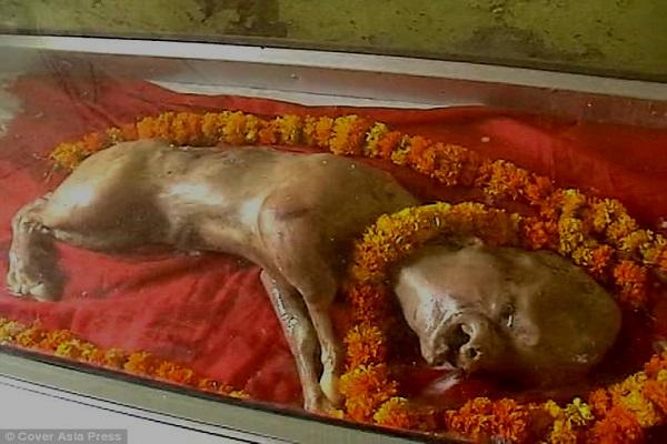Inde Un veau, né avec une tête à la forme humaine, adoré comme un dieu