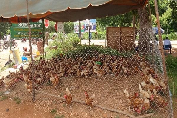 Fête de la Tabaski : A Ouaga, les poulets, non plus, ne sont pas laissés en rade…