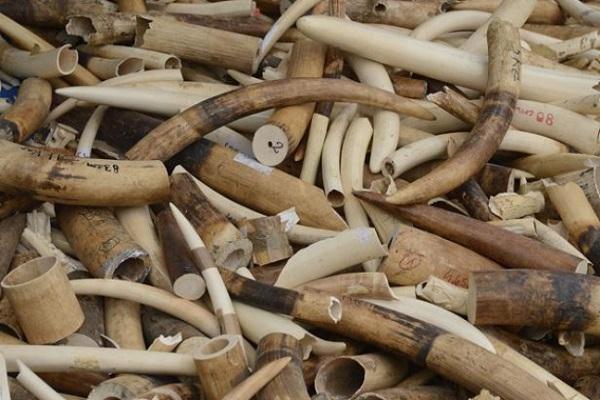 Trafic d'ivoire : 6 individus arrêtés avec une marchandise de près de 400 millions de francs CFA