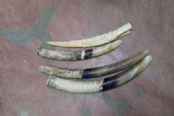 Togo: Un ex-marin arrêté en possession de 4 pointes d'ivoire dont un sculpté
