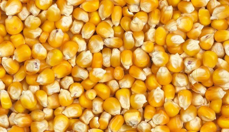 Production de Maïs : Des hausses respectives de 0,5% et 7,3% en novembre 2017 notées