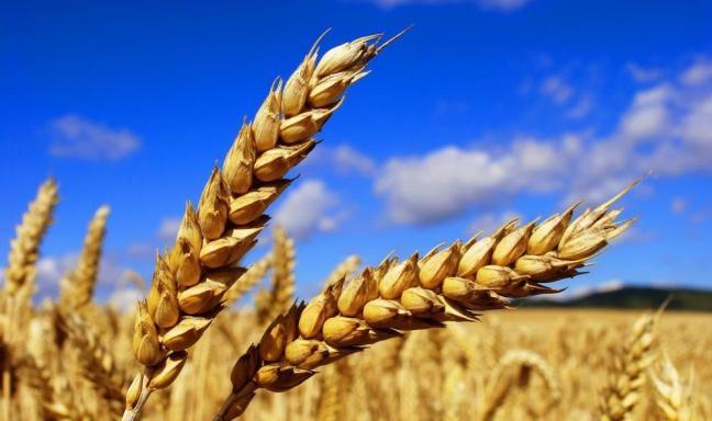 Céréales : Le département américain de l'agriculture table sur une offre mondiale de 3111,1 millions de tonnes