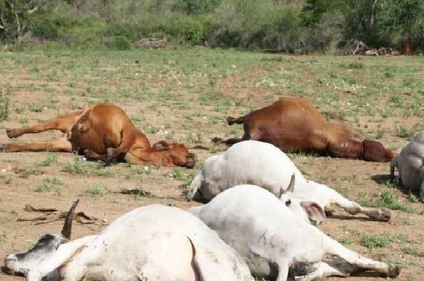 Elevage : Le bilan du sinistre, selon le Ministre Aminata Mbendue Ndiaye s'élève à 12.671 ovins, 112 bovins et 4 ânes morts