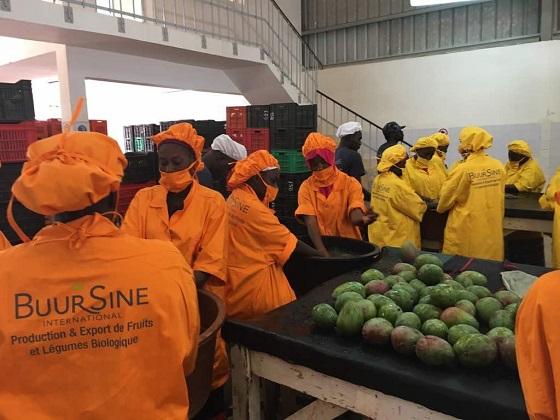 Mangue : Le manque d'organisation de la filière déploré par  les opérateurs