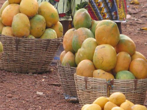 FILIÈRE MANGUE :  La variété Keitt continue de souffrir en Casamance à cause de la mouche blanche