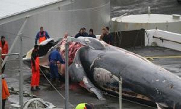 Islande : le multimillionnaire Kristjan Loftsson massacre des baleines une espèce protégée en voie de disparition
