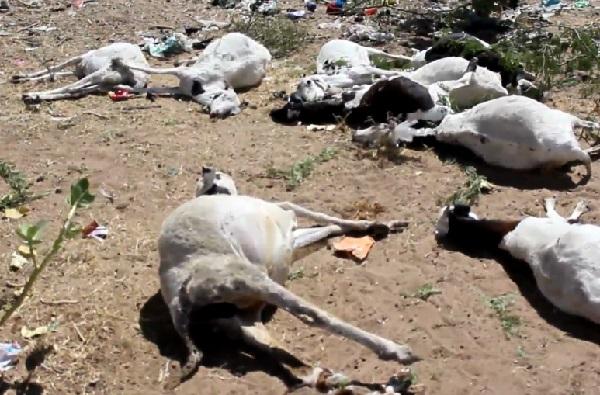 Grosse perte au quartier Touba Seras- Louga: une vingtaine de moutons et chèvres périssent empoisonnés par des produits pas totalement incinérés