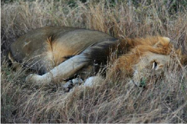 Crimes fauniques : les lions d'Afrique de l'ouest en danger critique d'extinction