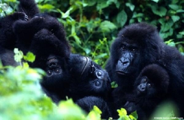 Ouganda : la foudre fait quatre morts dans un groupe gorilles