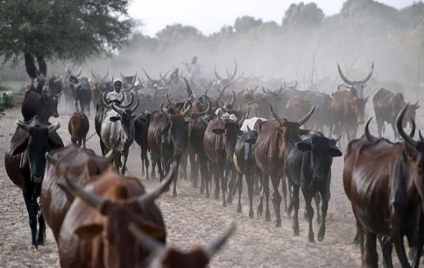 Tchad : l'Etat livre du bétail pour rembourser une dette de 100 millions de dollars à l'Angola