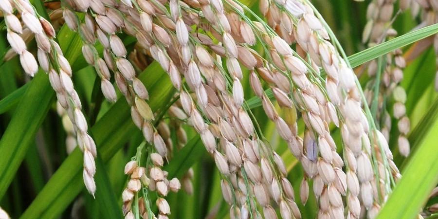 Riziculture  Bonnes perspectives de production pour la saison sèche-chaude
