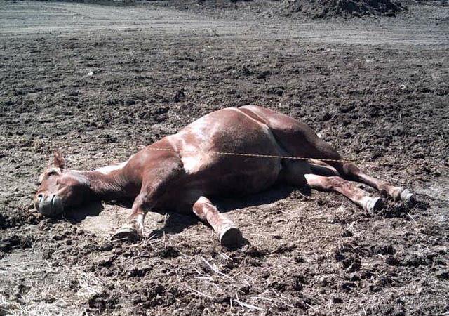 La barbarie inexpliquée continue en France : deux nouveaux cas de chevaux mutilés, dans le Morbihan et en Loire-Atlantique
