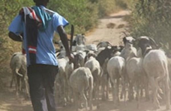Récurrence des vols de bétail : Les populations de Taïba, Keur Mallé et environs en perdent le sommeil