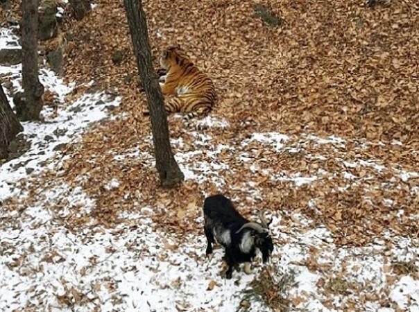 Sans blague ! Un tigre devient ''ami'' avec un bouc sensé être son repas…