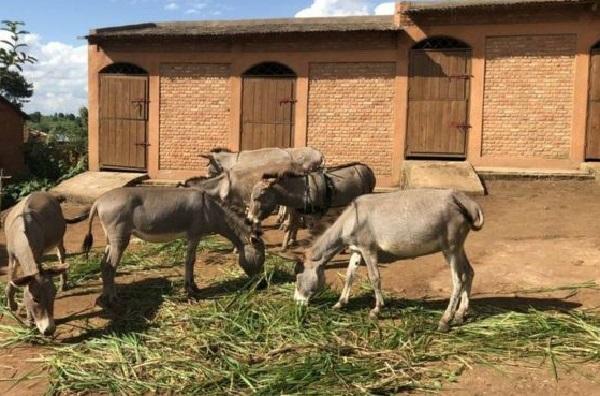 Kaffrine : la grippe équine décime 782 ânes et chevaux sur 6937 sujets touchés