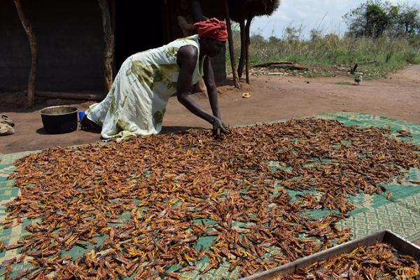 Criquets pèlerins : des Ougandais mangent les envahisseurs de leurs champs