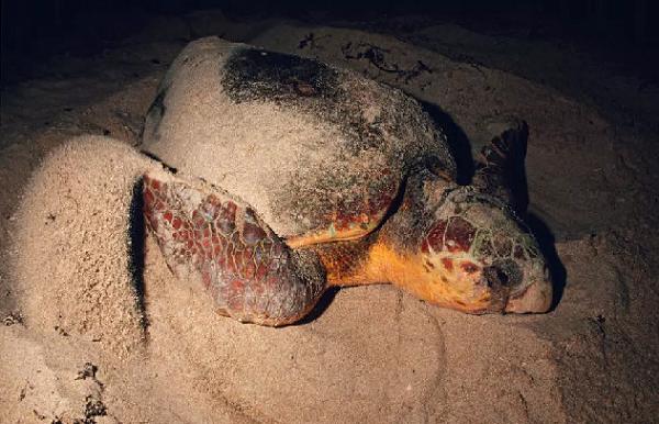 Environnement : Les tortues de retour sur les plages sénégalaises, les braconniers aussi…