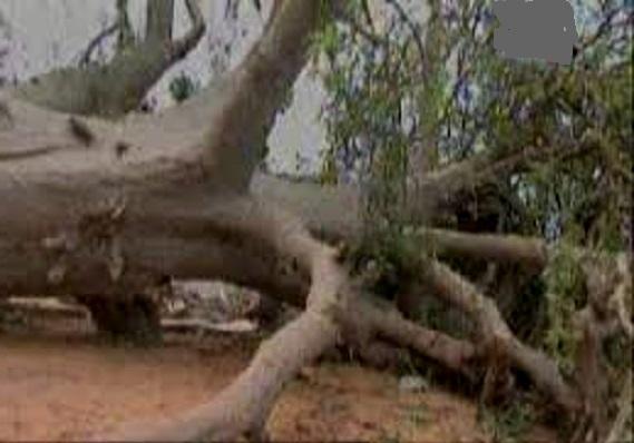 Drame à Kaffrine : une adolescente de quatorze ans tuée par la chute d'un baobab