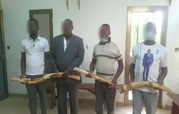 Togo- Trafic illégal de l'ivoire: 4 présumés trafiquants de 6 pointes d'ivoire déférés à la prison civile de Kara